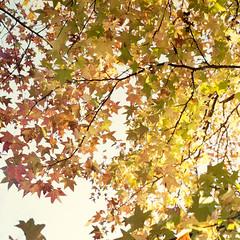 2014 Fall Yokohama Sunset at Kishine Park (MIKINOBU) Tags: trees sunset color tree fall 120 japan rollei rolleiflex mediumformat  sl66 yokohama      planar80mmf28   kishinepark digitalduplication