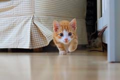 Sjakie (Iederedagkoningsdag) Tags: red cute window cat fur mirror paw kitten kat play action sweet tail whiskers poes kater raam 11weeks shutterspeed katje schattig sjakie katertje actionplay