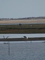 A stork and an egret, Ria Formosa, Algarve (Fiona in Eden) Tags: sea portugal marina silver pier crane wildlife jetty lagoon atlantic algarve olha egret stork riaformosa armona ilhadaarmona