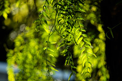 Weeping Willow (lara_1012) Tags: plant tree green nature foliage willow weeping salix babylonica lara1012