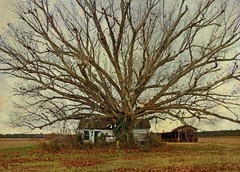 The Mother Oak and a Little Tenant House:  Pitt County, North Carolina (EdgecombePlanter) Tags: winter nc cabin south northcarolina southern majestic hugetree massiveoak
