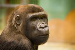 2014-11-29-10h19m12.BL7R7192 (A.J. Haverkamp) Tags: zoo rotterdam blijdorp gorilla dierentuin diergaardeblijdorp westelijkelaaglandgorilla nasibu canonef70200mmf28lisusmlens httpwwwdiergaardeblijdorpnl pobfrankfurtgermany dob01042007