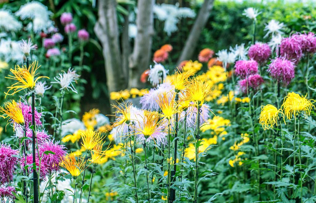 The World\'s Best Photos of kiku and newyorkbotanicalgarden - Flickr ...