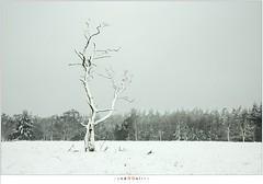Sneeuwbui op de Stippelberg (nandOOnline) Tags: winter bomen sneeuw nederland natuur boom landschap sneeuwvlokken rips sneeuwbui nbrabant stippelberg