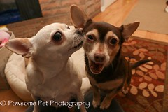 Star gives Luna kisses (Pawsome33) Tags: dog chihuahua foster