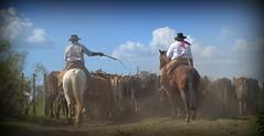 Tocando por diante (Eduardo Amorim) Tags: brazil horses horse southamerica brasil caballo cheval caballos kuh cow rind cattle cows ox ganado cavalos oxen mucca pferde cavalli cavallo cavalo gauchos pferd riograndedosul pampa bois khe vache vaca vacas campanha brsil vaches boi chevaux gaucho buey  amricadosul mucche fronteira boeuf vieh gacho amriquedusud  gachos  boeufs buoi sudamrica rinder gado suramrica amricadelsur bueyes sdamerika mue pinheiromachado  bestiami btail americadelsud americameridionale campeiros campeiro