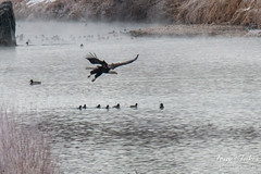 1 of 14 - Bald Eagle Fishing Sequence