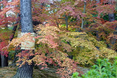 (ddsnet) Tags:       sony  99 slt singlelenstranslucent 99v    japan nippon nihon  travel  backpackers  autumnal  plant autumnleaves