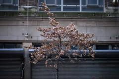 Brr (Badison) Tags: nyc winter tree manhattan 85mm midtown f18 brr hibernation achoo