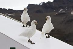 Pale-faced Sheathbills (Baractus) Tags: st john georgia bay andrews snowy south le oates boreal palefaced inthewakeofshackleton sheathbil