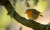 Rockin Robin (IanMcConnachie) Tags: robin birds canon branch bokeh wildlife boka wildlifephotography beautifulbokeh robinhoodsstride woodlandbird winterrobin britishrobin canon7dmkii ef300mmf28lisiiusm ianmcconnachie wildbirdfeeding bokehrobin
