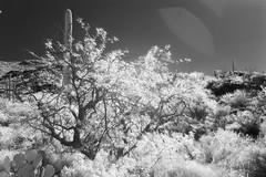 2014.12.22.010 (The Awkward Globetrotter) Tags: arizona cactus blackandwhite usa mountain plant color tree rock stone landscape unitedstates desert tuscon infrared saguaro pricklypear barren arid americanwest saguaronationalpark outwest westernusa saguaronationalparkeast rinconmountaindistrict javalinapicnicarea