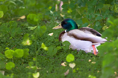 Happy Mallard in the Green_7952 (hkoons) Tags: park city flowers trees plants reflection tree berlin green bird nature colors birds animal germany garden fun zoo education europe natural path stones capital tranquility entertainment study german walkway learning beast greenery serene streams lesson creatures ponds spree mitte shrubs tranquil enjoyment educate learn beasts beasties academic contemplation entertain groundcover manicured crawlers zoological berlinzoo zoologicalpark birdsgarden northerneuropeanplain