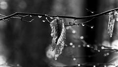 (Angela Schlafmtze) Tags: macro gelo foglie licht frost natur natura