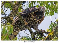 African Crowned Eagle (Crowned Hawk-Eagle) - Rondo Retreat Kakamega Forest Western Kenya (Chris(C) & Sue (S) M-T) Tags: africancrownedeagle kakamegaforest westernkenya rondoretreat crownedhawkeagle stephanoaetuscoronatus chrismassietaylor benobandaguide