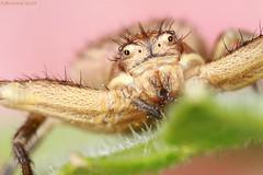 Regard de printemps (bertrand kulik) Tags: macro nature spider leaf eyes yeux insecte araigne feuille canonmpe canoneos7d bertrandkulik