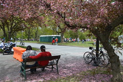 Couple relaxing under pink flowering tree in Washington Park during the Albany Tulip Festival in the capital city of Albany, New York, USA (RYANISLAND) Tags: flowers flower spring tulips 17thcentury nederland upstateny na tulip albany empirestate newyorkstate albanyny nederlands springflowers tulipfestival albanynewyork iloveny flowerfestival springflower tulipflower newamsterdam ilovenewyork tulipflowers theempirestate albanytulipfestival kingdomofthenetherlands dutchsettlement ny flower flowers spring newyork nyc springtime newyorkcity ilovenewyorkspringdestination albanyny albanynewyork albanytulipfestival tulipfestival tulips dutchtulips upstatenewyork nys springflowers orangewonder orangewondertulip queenwilhelmina holland thenetherlands netherlands dutch welcomespring tulip