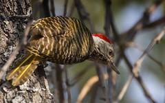Alert (philnewton928) Tags: wild bird nature animal outdoors woodpecker nikon natural outdoor wildlife safari animalplanet shingwedzi krugernationalpark kruger bennettswoodpecker campetherabennettii d7200 nikond7200 bennettswoodpeckerbird