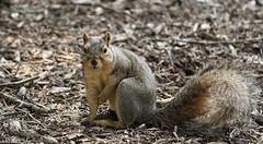 Squirrel, Morton Arboretum. 348 (EOS) (Mega-Magpie) Tags: usa cute nature america canon outdoors eos illinois squirrel outdoor wildlife dupage arboretum il morton lisle the 60d