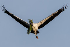 Wood Stork Nest Building-0301 (Don Burkett) Tags: nature birds animal fauna canon florida outdoor wildlife southflorida dlsr wakodahatcheewetlands donburkett canon7dmkii 100400mii ef100400f4556liiusm dtburkett