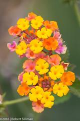 Tiny flowers-2160 (rob-the-org) Tags: flowers macro iso100 noflash 100mm cropped desertbotanicalgarden f63 phoenixaz 1100sec