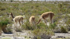 - 2016-05-05 at 20-08-02 + vicuna family at the Salt Hotel