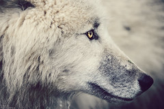 Camille Photographie (Camille-Photographie) Tags: france colors animal zoo eyes couleurs loup couleur clich planetesauvage camillephotographie