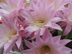 ER 160510 (2) (Paolo Bonassin) Tags: flowers cactus flower cactaceae echinopsis succulente cactacee