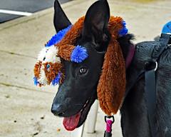 Overhead chew toy storage [Explored] (jcdriftwood) Tags: dog hat puppy toy head storage overhead chewtoy
