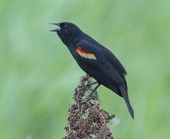 Red-winged Blackbird, male (AllHarts) Tags: memphistn avianexcellence maleredwingedblackbird naturescarousel ensleybottoms southplant