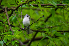 Tufted Titmouse (C-Brese) Tags: bird kansas titmouse tufted tuftedtitmouse baeolophusbicolor cbrese