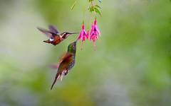 gorgted woodstar/Buff-tailed Coronet (wanghc732) Tags: bird nature animals ecuador hummingbird