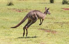 Up!! (_altaria01669_) Tags: animal jump australia kangaroo qld queensland salto aussie aus canguro