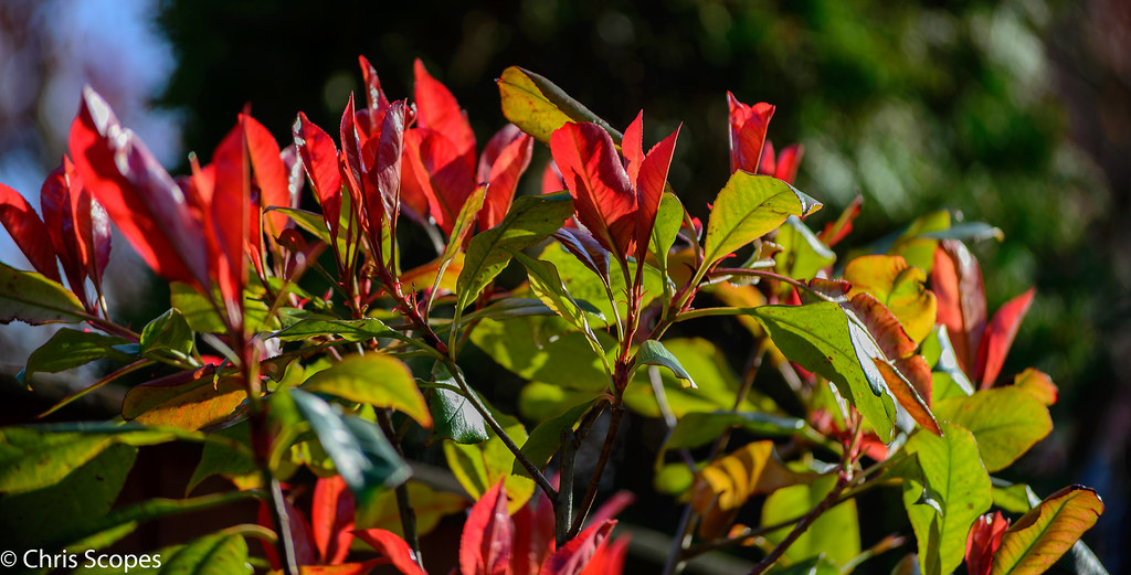 how to take cuttings of photinia red robin