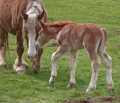 Mme Jument et son petit poulain (chrdraux) Tags: horse baby montagne cheval lien maman nursing bb verdure petit pyrnes poulain jument attachement parent