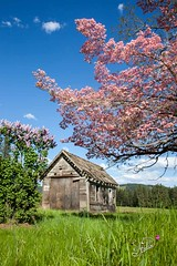 Brightness of Hope (Starlisa) Tags: pink blue green nature rural landscape photography washington spring purple unitedstates northwest tl lilac pasture pacificnorthwest washingtonstate pnw troutlake oldcabin oldhomestead 2016 historicbuilding may3 pinkdogwood photojourney klickitatcounty stagecoachstop starlisa troutlakevalley starlisablackphotography darlisablack starlisablackphotographycom starlisacom 532016 pinkdogwoodcabin3275