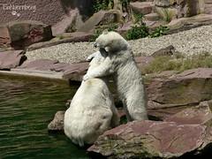 Vera - Charlotte - Eisbren - Tiergarten Nrnberg (ElaNuernberg) Tags: zoo polarbear ijsbeer eisbr ursusmaritimus zooanimals zootiere jkaru tiergartennrnberg ourspolaire orsopolare nurembergzoo niedwiedpolarny eisbrvera eisbrcharlottealiaslottchen