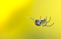 spider (thbouchard) Tags: macro yellow jaune spider nikon d3 araigne proxi