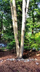 4 Headed Dragon Tree (SurFeRGiRL30) Tags: wood blue trees summer greenleaves sun sunlight tree nature beautiful rock yard newjersey woods backyard rocks branches nj sunny brook sunlit rockwall woodchips sunshining ilovethis fourheaded jvbphotography