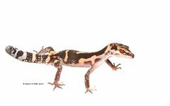 Goniurosaurus kuroiwae orientalis - Ie Island (Okinawa Nature Photography) Tags: goniurosauruskuroiwaeorientaliskuroiwas ground geckookinawa nature photographyie islandryukyu islandsgeckoreptiles amphibians okinawareptiles japannight photography okinawawildlife okinawa herp canon 70d 100macro