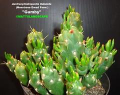 "Austrocylindropuntia Subulata Dwarf Monstrose variety ""GUMBY"" (Pic #4) (mattslandscape) Tags: christmas cactus tree art cacti dwarf needle pokey gumby eves kakteen gumbi clokey subulata austrocylindropuntia monstrose"