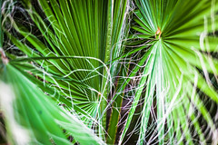 Fan Fusion (oliemackeral) Tags: fan palm plant outdoors backyard nature green threads leaves texas usa