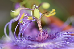 Passiflora La Lucchese (_pkm_photography) Tags: nikon passiflora dslr d3300 pkmphotography2016