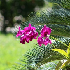 Outra orqudea em nosso jardim Another br Orchid in our Garden2016-06-23 (ladgon) Tags: flowers flores orchids orquideas