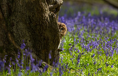 Tawny in the wood's  (Strix Aluco) (Steven Whitehead) Tags: blue tree bird birds bluebells canon woods feeding feathers bwc bluebell birdofprey 2016