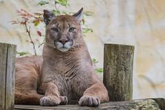 Cougar 2016-06-16-0545 (bzd1) Tags: nature poema cougar animal mammal carnivore felidae puma pumaconcolor zoodamneville