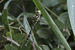 Another Southern Hawker (me'nthedogs) Tags: dragonfly somerset levels westhay southernhawker