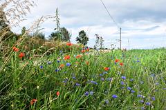 Summer flowers at the wayside (rotraud_71) Tags: bavaria bayern oberpfalz regensburg summer flowers trees sky cornflowers poppies scenicsnotjustlandscapes 1025fav blinkagain