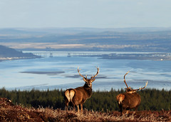 Stags Above the Beauly Firth and Inverness (Gavin MacRae) Tags: stags beaulyfirth inverness reddeerstag blackisle kessockbridge kessock deer highlandsofscotland highlandnature highlandwildlife highlandlandscape highlands scotland scottishwildlife scottishnature scottishhills stag nature nikon spring scottishlandscape scottishlandscapes beauly wildlife woodlandwildlife