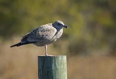 gull on piling (Rifa21) Tags: seagull gulls waterbirds